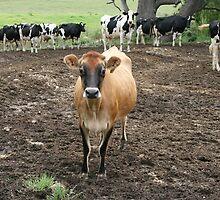 Country Cows near Bodalla, NSW by aussiebushstick