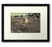 Country Cows near Bodalla, NSW Framed Print