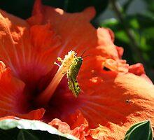 Baby Grasshopper in Hibiscus by aussiebushstick