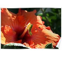 Baby Grasshopper in Hibiscus Poster