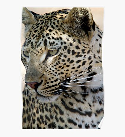 Maxabene 3:3 Young Male Leopard Poster
