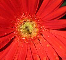 Daisy Dew Drops by DebbieCHayes