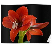 A pair of red hippeastrum flowers, Gold Coast Hinderland, Australia Poster