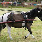 minature horse  by janfoster