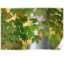 Beauty of the Maple Poster