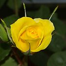 my first rose of the season by janfoster