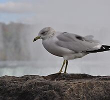 Seagull by russiannut