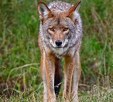 Coyote by Michael Cummings