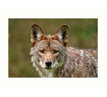 Coyote Portrait  Art Print