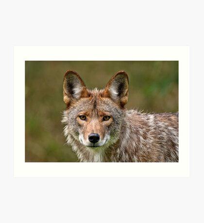 Coyote Portrait  Art Print