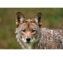 Coyote Portrait  Photographic Print