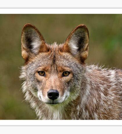 Coyote Portrait  Sticker