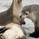 Sealions at Seal Bay - Kangaroo Island, South Australia by Dan & Emma Monceaux
