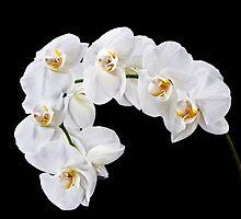 Orchid - 30 by Mikhail Palinchak