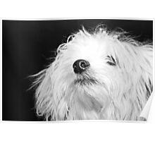 Maltese Pup Poster