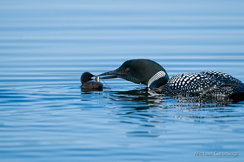 Loon feeding Baby - Mississippi Lake by Michael Cummings