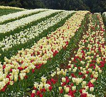 Flowerdale  tulip rows by gaylene