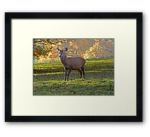 Young Stag - Red Deer Framed Print