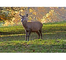 Young Stag - Red Deer Photographic Print