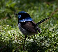 """Blue Wren Watching"" by Sophie Lapsley"
