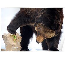 Bear looking under a rock Poster