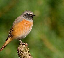 Common Redstart - II (Phoenicurus phoenicurus) by Peter Wiggerman