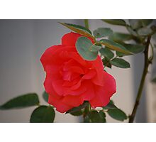 A Fall Rose Photographic Print