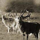 Red stag roar by Debbie Ashe