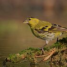 Siskin (Carduelis spinus) by Peter Wiggerman