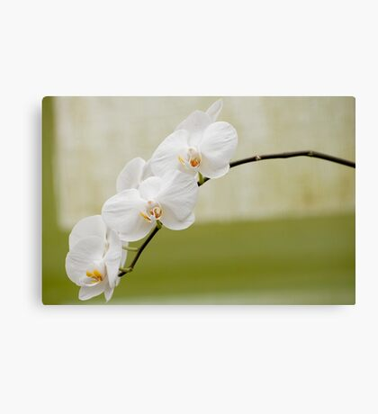 "Phalaenopsis ""Brother White Windian"" Canvas Print"