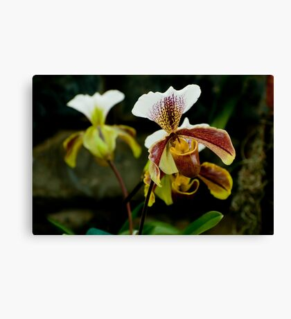 "Paphiopedilum Olympus ""The Chairman"" Canvas Print"