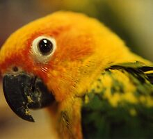 Parrot by Celia  Heringman