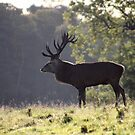 STAG by Debbie Ashe