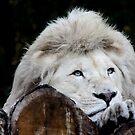 white lion by Heike Nagel