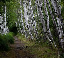 Birch Path - Sieur de Monts by David Clayton