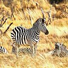 Zebras at Peace by Graham Prentice