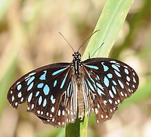 Butterfly Blue by ClaireCBC