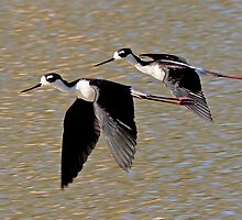 Black Necked Stilts by Marvin Collins