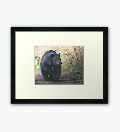 Young Adult Black Bear Framed Print