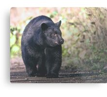 Young Adult Black Bear Metal Print
