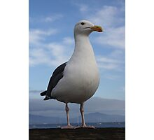 Admiral Seagull Photographic Print