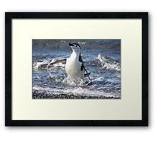 Antarctica chinstrap penguin back from fishing Framed Print