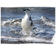 Antarctica chinstrap penguin back from fishing Poster