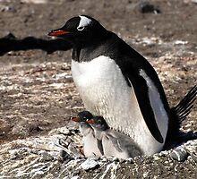 Antarctica gentoo penguin breeding chicks by Marion Joncheres