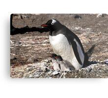 Antarctica gentoo penguin breeding chicks Metal Print