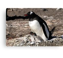 Antarctica gentoo penguin breeding chicks Canvas Print
