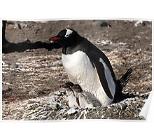 Antarctica gentoo penguin breeding chicks Poster