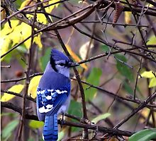 Blue Jay by waimages