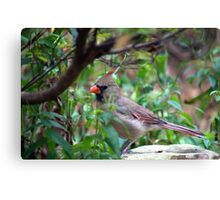 Female Cardinal Canvas Print