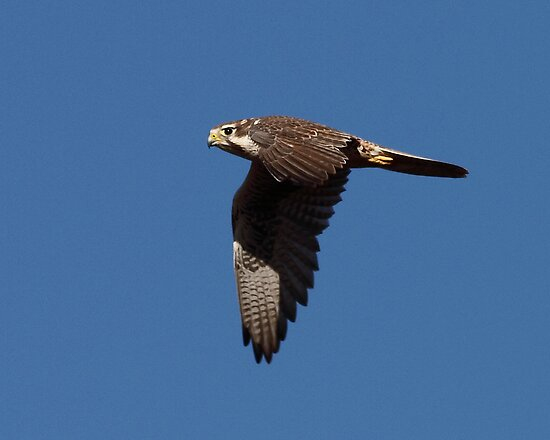Prarie Falcon by tomryan